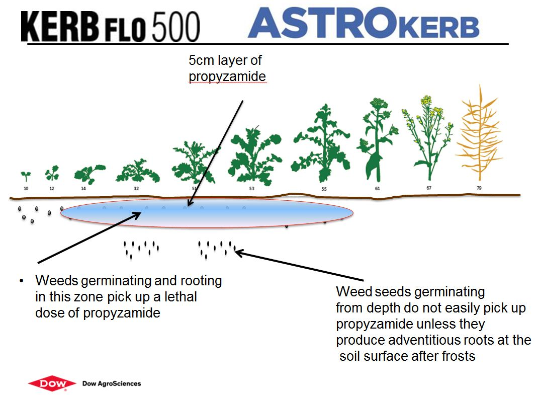 Kerb astrokerb germination depth